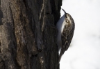 Eurasian Tree-creeper/Certhia familiaris, Family Wallcreepers
