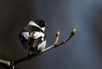 Collared Flycatcher/Ficedula albicollis, Family Flycatchers