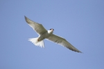 Common Tern/Sterna hirundo - Photographer: Plamen Dimitrov