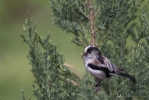 Family Long-tailed Tits, Long-tailed Tit/Aegithalos caudatus - Photographer: Plamen Dimitrov