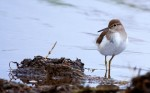 Common Sandpiper/Actitis hypoleucos - Photographer: Добромир Терзиев