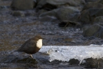 Family Dippers, White-throated Dipper/Cinclus cinclus