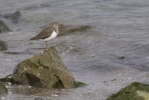 Common Sandpiper/Actitis hypoleucos - Photographer: Plamen Dimitrov
