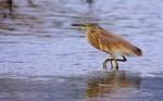 Squacco Heron/Ardeola ralloides - Photographer: Добромир Терзиев