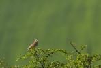 Crested Lark/Galerida cristata - Photographer: Plamen Dimitrov