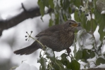Family Thrushes, Eurasian Blackbird/Turdus merula - Photographer: Plamen Dimitrov