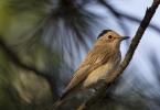 Spotted Flycatcher/Muscicapa striata - Photographer: Plamen Dimitrov