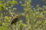 Family Buntings, Yellowhammer/Emberiza citrinella - Photographer: Plamen Dimitrov