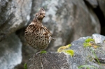 Family Grouse, Hazel Grouse/Tetrastes bonasia - Photographer: Plamen Dimitrov