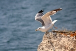 Family Gulls, Terns, Yellow-legged Gull/Larus michahellis - Photographer: Dimitar Dimitrov