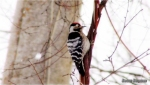 Lesser Spotted Woodpecker/Dendrocopos minor, Family Woodpeckers