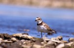 Little Ringed Plover/Charadrius dubius - Photographer: Евгений Даков