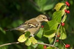 Family Finches, Chaffinch/Fringilla coelebs