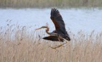 Purple Heron/Ardea purpurea - Photographer: Добромир Терзиев