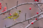European Greenfinch/Carduelis chloris, Family Finches