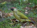 Eurasian Green Woodpecker/Picus viridis - Photographer: Евгени Стефанов