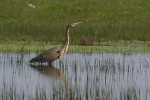 Purple Heron/Ardea purpurea - Photographer: Sergey Panayotov