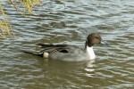 Northern Pintail/Anas acuta - Photographer: Ники Петков