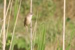 Great Reed-warbler/Acrocephalus arundinaceus - Photographer: Sergey Panayotov