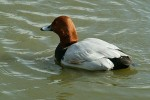 Common Pochard/Aythya ferina - Photographer: Ники Петков