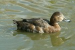 Family Waterfowl, Common Pochard/Aythya ferina - Photographer: Ники Петков