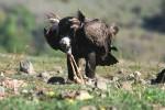 Cinereous Vulture/Aegypius monachus - Photographer: Sergey Panayotov