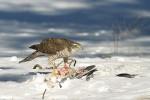 Eurasian Sparrowhawk/Accipiter nisus - Photographer: Емил Енчев