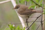 Marsh Warbler/Acrocephalus palustris - Photographer: Емил Енчев