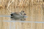 Family Waterfowl, Gadwall/Anas strepera