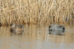 Gadwall/Anas strepera, Family Waterfowl