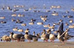 Family Waterfowl, Pink-footed Goose/Anser brachyrhynchus