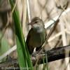 Great Reed-warbler/Acrocephalus arundinaceus - Photographer: Светослав Спасов