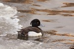 Tufted Duck/Aythya fuligula - Photographer: Ники Петков