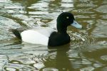 Family Waterfowl, Greater Scaup/Aythya marila