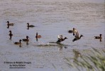 Family Waterfowl, Ferruginous Duck/Aythya nyroca