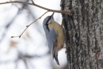 Wood Nuthatch/Sitta europaea - Photographer: Бисер Тодоров