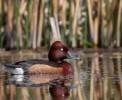 Ferruginous Duck/Aythya nyroca - Photographer: Иво Дамянов