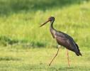 Black Stork/Ciconia nigra - Photographer: Иво Дамянов