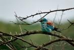 European Roller/Coracias garrulus - Photographer: Антони Гогов