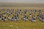 Family Waterfowl, Barnacle Goose/Branta leucopsis - Photographer: Ники Петков