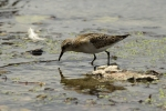 Little Stint/Calidris minuta, Family Sandpipers