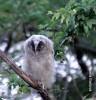 Long-eared Owl/Asio otus - Photographer: Весела Банова