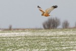 Western Marsh-harrier/Circus aeruginosus - Photographer: Емил Енчев