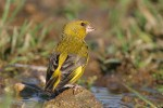 Family Finches, European Greenfinch/Carduelis chloris