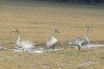 Family Waterfowl, Whooper Swan/Cygnus cygnus