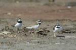 Family Plovers, Little Ringed Plover/Charadrius dubius