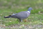 Family Pigeons, Doves, Common Wood-pigeon/Columba palumbus