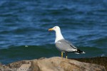 Family Gulls, Terns, Yellow-legged Gull/Larus michahellis