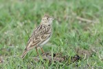 Family Larks, Greater Short-toed Lark/Calandrella brachydactyla