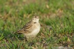 Greater Short-toed Lark/Calandrella brachydactyla - Photographer: Светослав Спасов